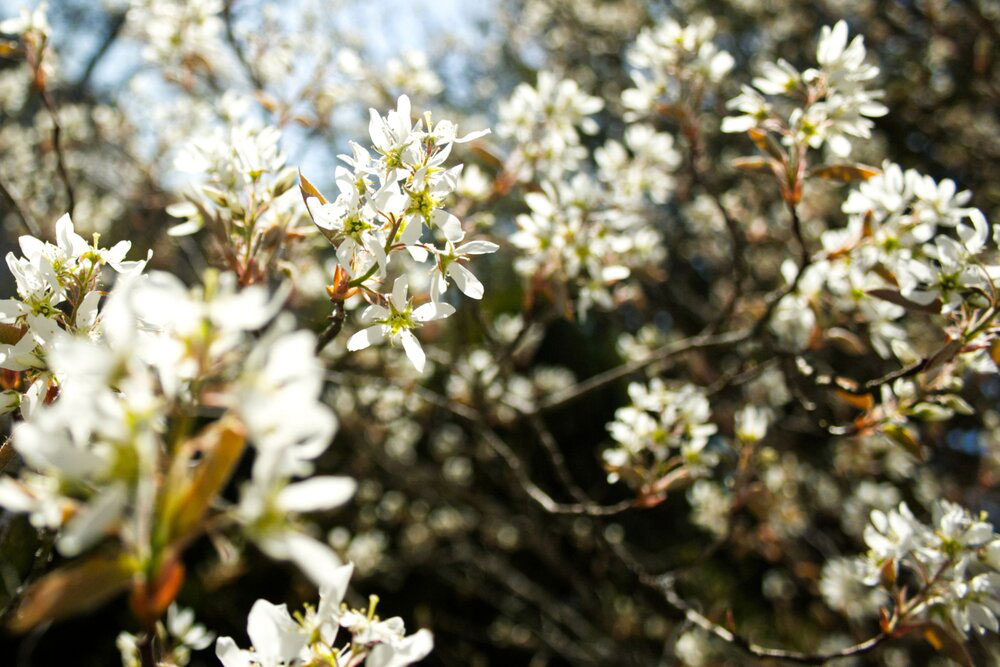 How The Serviceberry Got Its Name